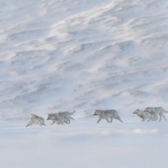 MEUTE DE LOUPS COURANTS